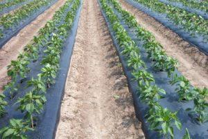 Màng phủ nông nghiệp cải thiện năng suất cây trồng